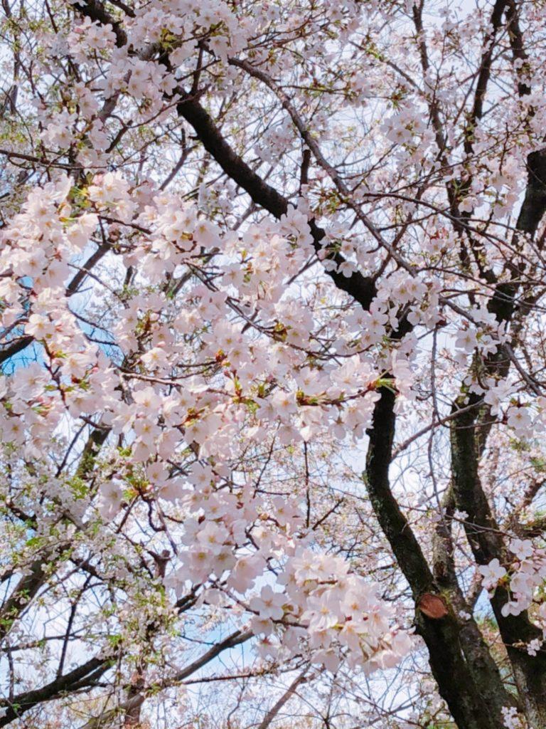 桜、開花、平塚、アンテナ撤去、雨樋クリーニング、屋根点検
